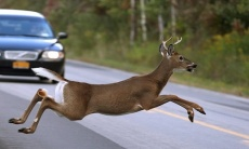 Accident graphic, deer in roadway
