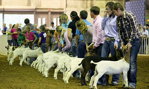 Show stock clinic for 4-H and FFA Exhibitors to be held April 9th in Milan