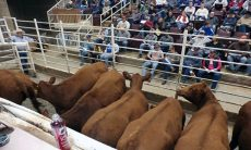 Cattle in ring at sale