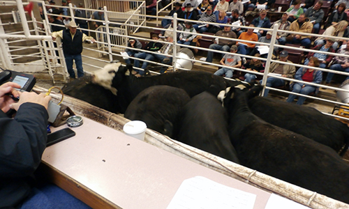 Sale Cattle cow