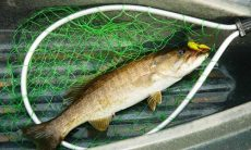 Smallmouth bass in net