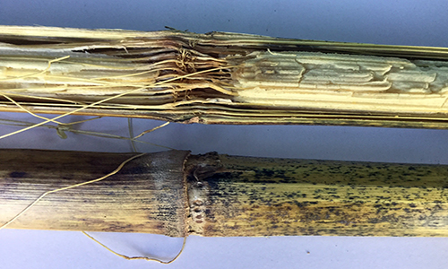 Corn Stalk Rot