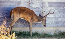 Deer with Chronic Wasting Disease or CWD