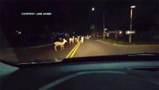 Arizona woman's road to work blocked by massive herd of deer