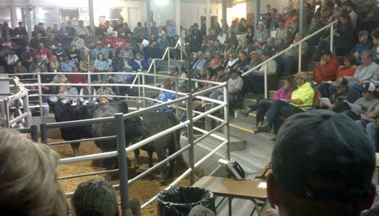 Cattle at Sale