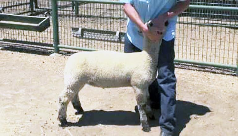 Sheep Show Generic