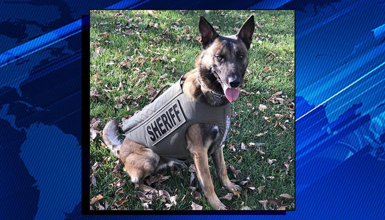 Canine Officer Zaki in Body Armor