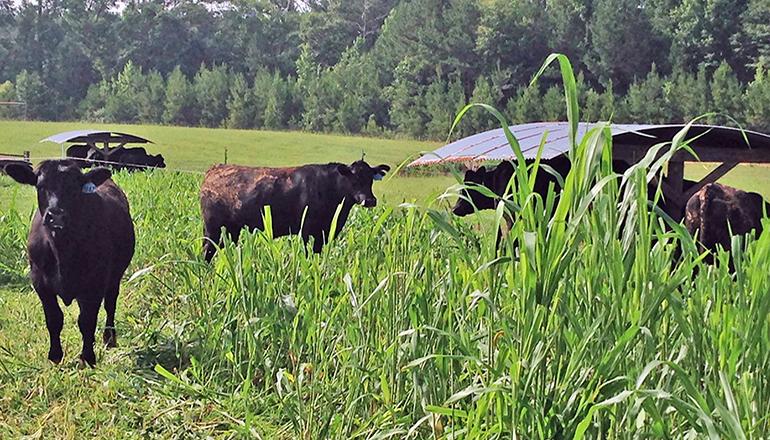 Grazing School Photo of Cattle in Field