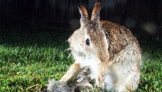 Rabbit with Young
