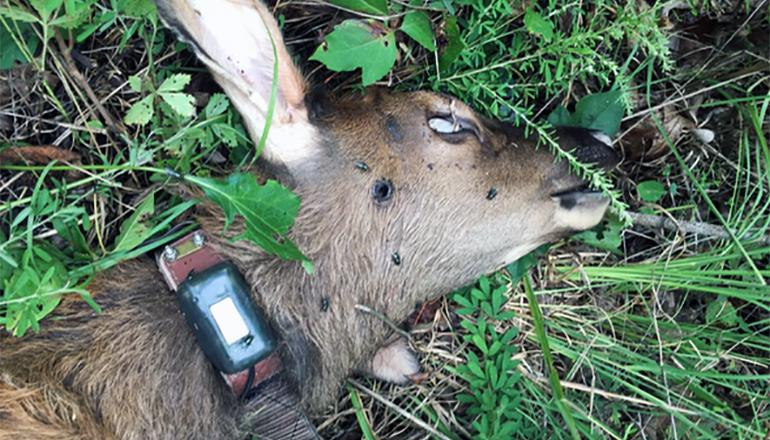 Elk Calf poached in Missouri