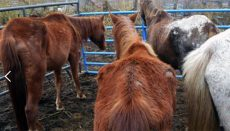 Harrison County Horses Rescued