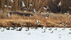 Waterfowl at Fountain Grove Conservation Area