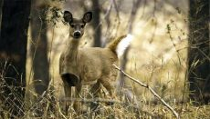 White Tail Deer Standing In The Woods
