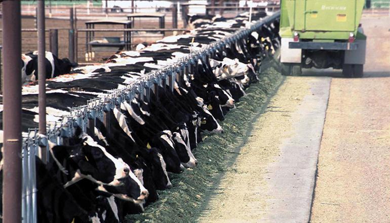 Cattle in CAFO
