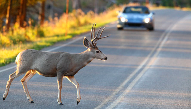 Deer in roadway with oncoming car