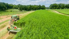Tractor mowing hemp on hemp farm