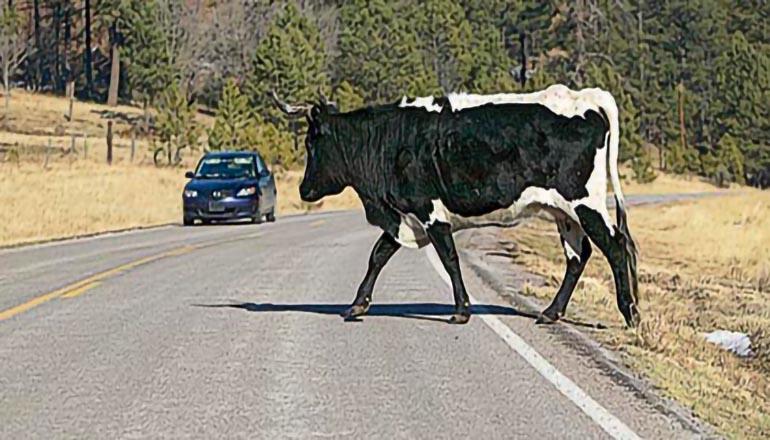 Cow in Roadway