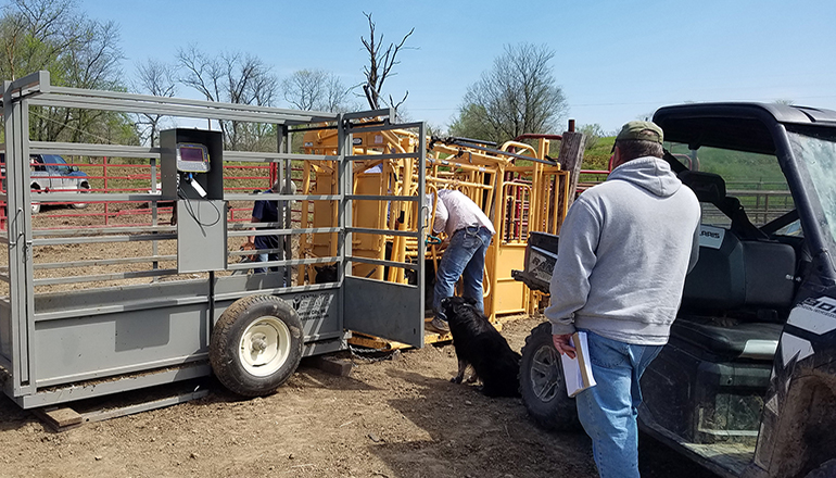 Measuring a cow's weight