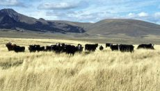 Hay and Grazing with cattle in pasture