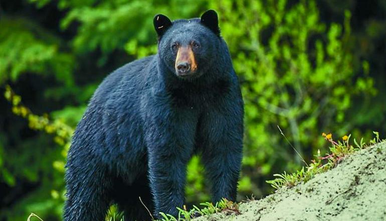 Bear Standing on Hill