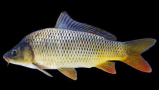 Common Carp Species of fish