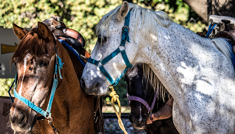 Horses in halters