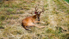 Deer with HD or Hemorrhagic Disease