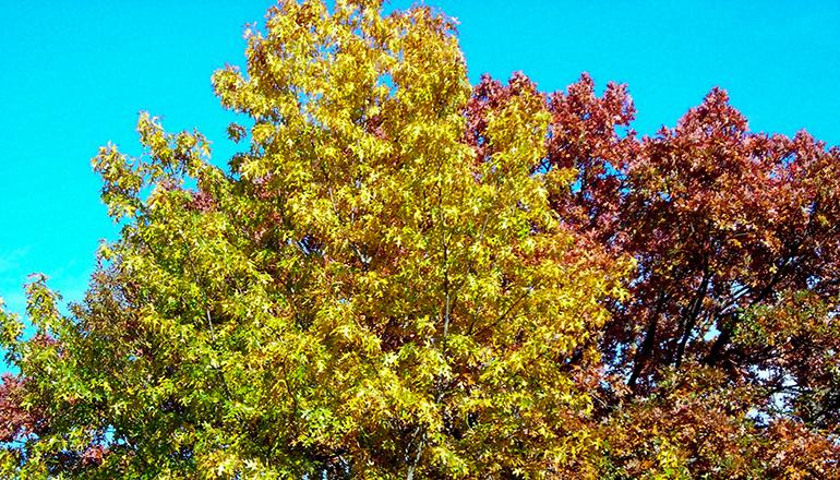 Oak Trees in Fall Color