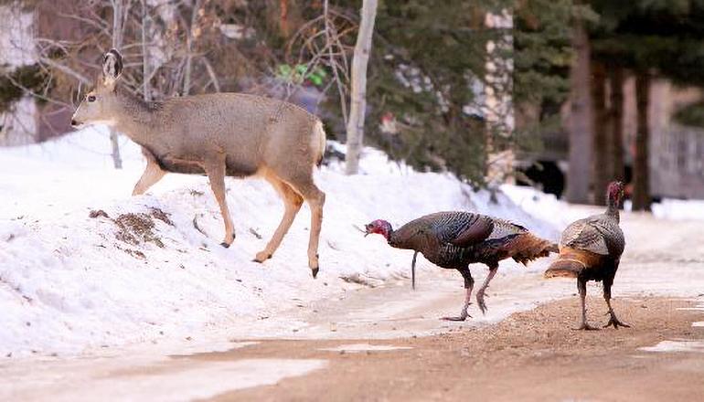 Deer and Turkey together