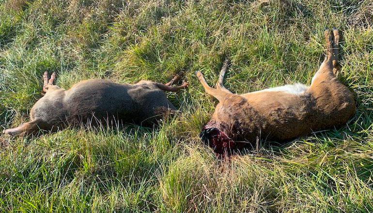 Deer beheaded by hunters