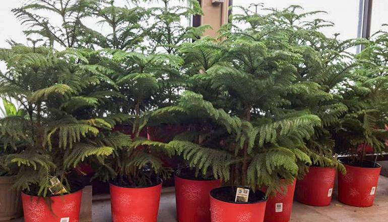 Norfolk Island Pine Plants in a pot
