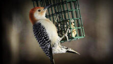Red Bellied Woodpecker (bird feeding) eating suet