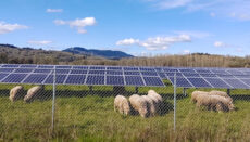 Sheep in fenced pasture with solar panels