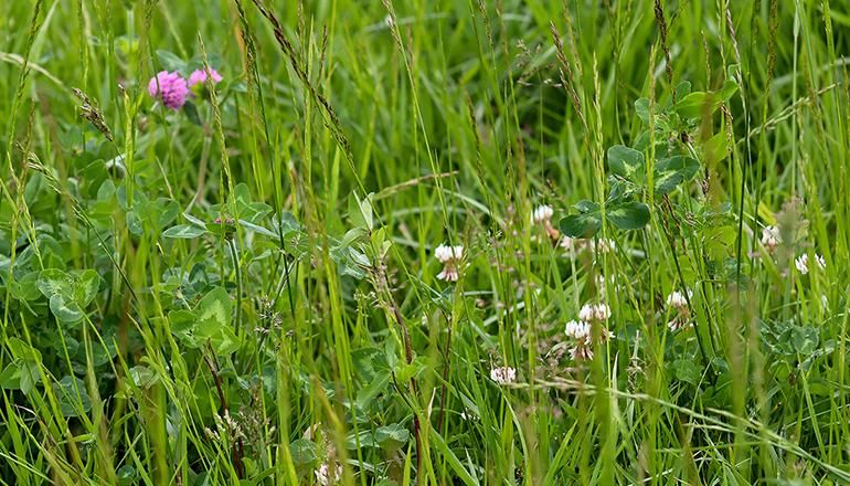White Clover in a field
