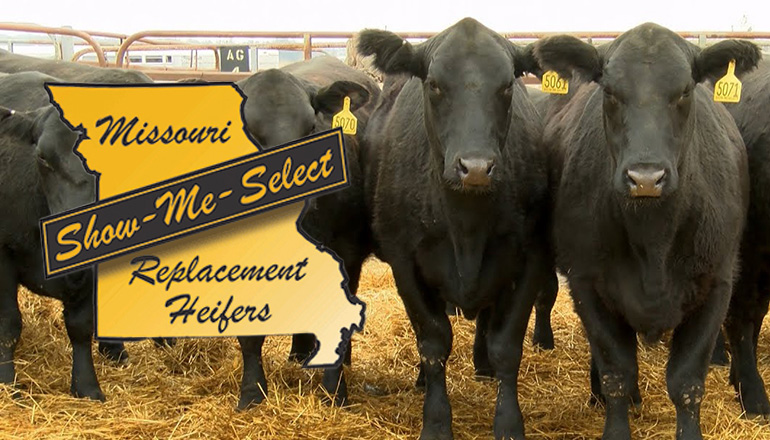 Show Me Select Heifer Replacement Sale