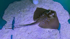 Baby Stingray at Sea Life