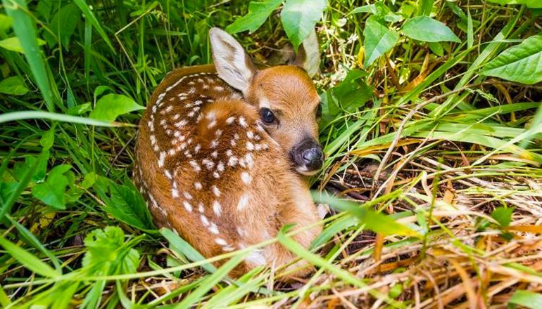 Baby deer (fawn) in grass