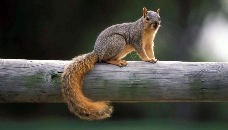 Squirrel on fence rail