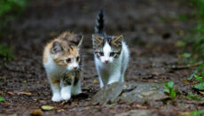 Kittens (cats) walking on a path