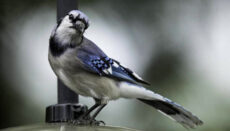 Photo of Blue Jay from Mo Dept of Conservation