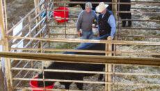 Bull owner convincing a buy his bull is best